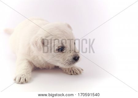 Little puppy isolated over a white background