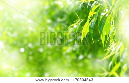 Spring background with bright fresh willow leaves