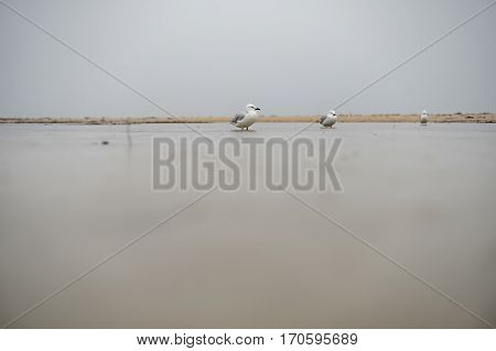 Seagulls stand in a puddle on a miserable rainy and overcast day in Perth, Western Australia, Australia.
