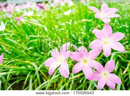Beautiful rain lily flower(Zephyranthas sp.)in the garden