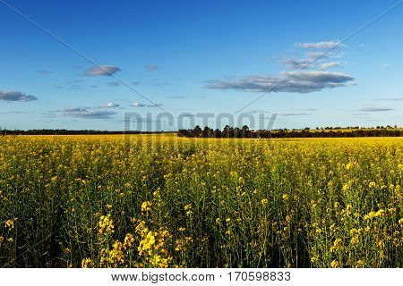 Canola Field with blue sky on a summer day in the south west of Western Australia near Albany and the Stirling Ranges National Park.