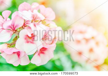 Beautiful pink geraniums in the garden with color filters.