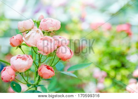 Close-up of pink fairy rose pygmy Rose blossom in the garden with green bokeh background