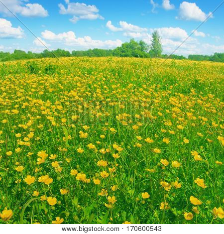 Spring flower field and blue sky with clouds.
