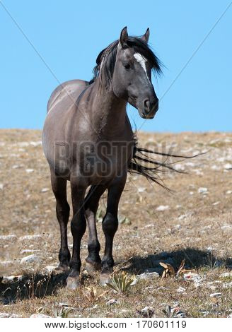 Wild Horse Grulla Gray Colored Band Stallion On Sykes Ridge In The Pryor Mountains In Montana – Wyom