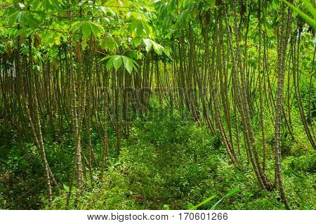 Beautiful green garden with groove of cassava treeshoto taken in dramaga bogor indonesia java