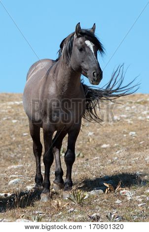 Wild Horse Grulla Gray colored Band Stallion on Sykes Ridge in the Pryor Mountains in Montana – Wyoming USA. poster