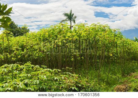 Green garden full of cassava trees, bushes and coconut tree with beautiful cloudy sky as background photo taken in dramaga bogor indonesia java