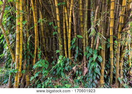 Yellow bamboo groove with bush at National Conservation Kebun Raya Bogor photo taken in Bogor Indonesia java