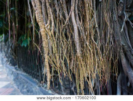 a big old tree with big and long dry roots at kebun raya bogor indonesia java