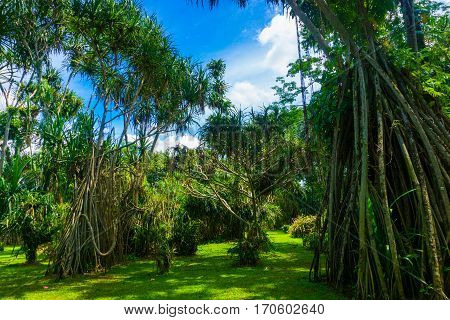 Great landscape with big tree with long roots and beautiful cloudy sky as background photo taken in Kebun Raya Bogor Indonesia java