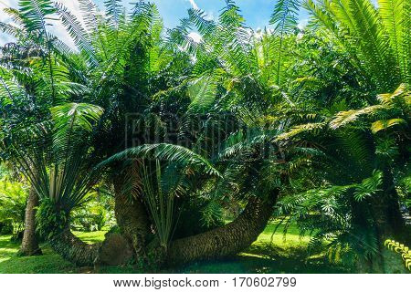 A groove of green palm tree in a landscape photo taken in Kebun Raya Bogor Indonesia java