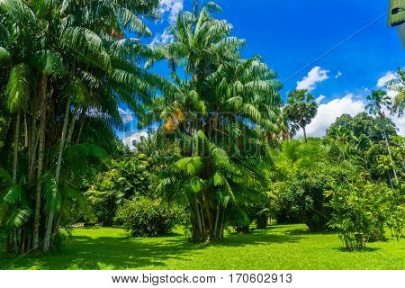 A groove of green palm tree in a landscape with green meadow photo taken in Kebun Raya Bogor Indonesia java