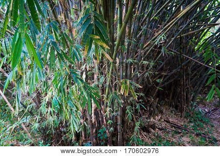 Groove of young bamboo tree with leaves photo taken in Kebun Raya Bogor Indonesia java