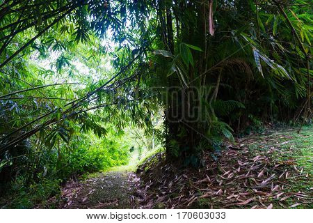 a road near Groove of young bamboo tree with leaves photo taken in Kebun Raya Bogor Indonesia java