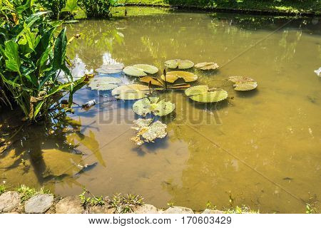 Lotus or water lily on a pond with green water photo taken in Kebun Raya Bogor Indonesia java