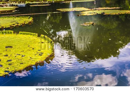Big Lotus or water lily leaves on a pond with green water photo taken in Kebun Raya Bogor Indonesia java