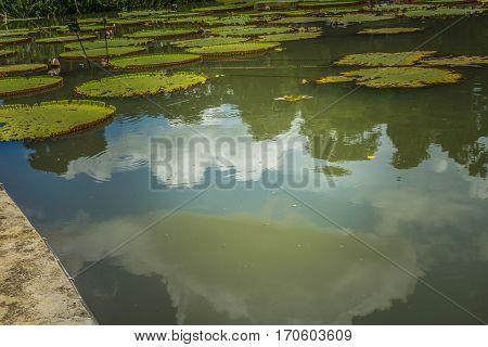 Lotus or water lily on apond with green water photo taken in Kebun Raya Bogor Indonesia java
