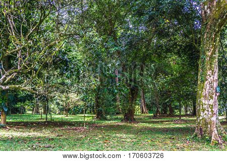 Green garden with old big tree and another green trees with meadow photo taken in Kebun Raya Bogor Indonesia java