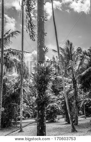 Palm and coconut tree at the garden in black white mode photo taken in Kebun Raya Bogor Indonesia java