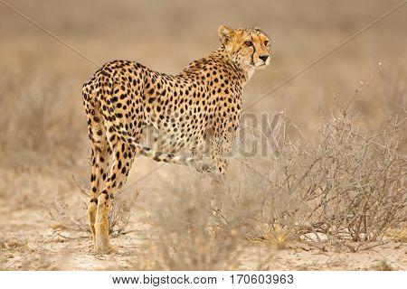 Cheetah (Acinonyx jubatus) in natural habitat, Kalahari desert, South Africa