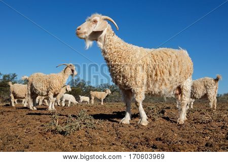 Angora goats on a rural African free-range farm