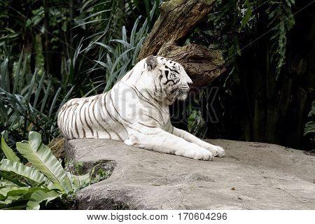 Albino Bengal tiger lying down sleepy cat
