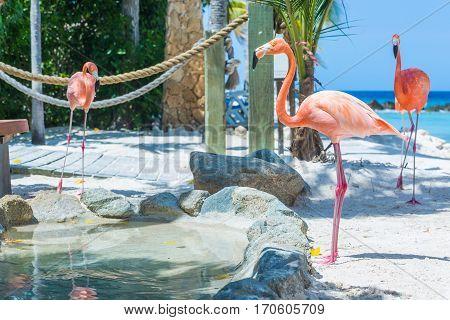Flamingo and Iguana on the Aruba beach. Flamingo beach