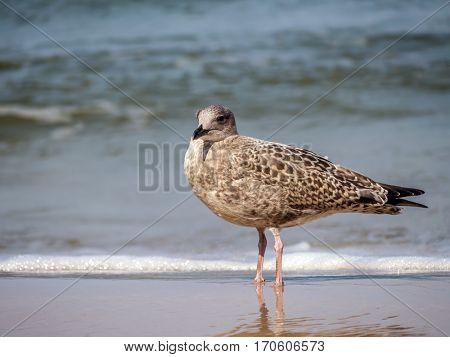 Great Black-backed Gull on the beach sand against the sea