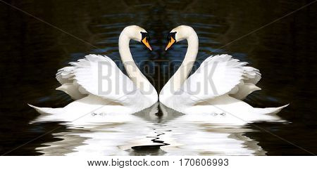 Swans heart. Two pretty white-feathered birds looking at each other