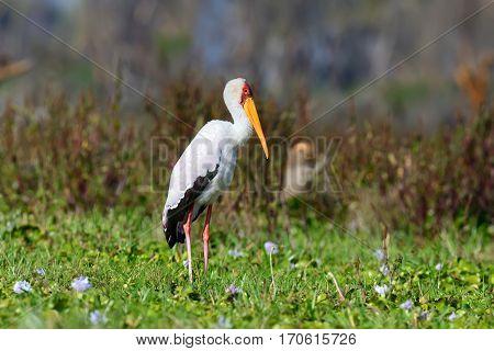 African Yellow-billed Stork