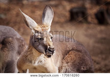 Head and shoulders portrait of a Kangaroo - Close up head photo of Kangaroo, Western Australia, Australia.