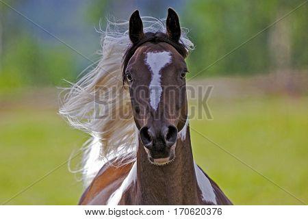 Pinto Arabian Gelding galloping with flying mane
