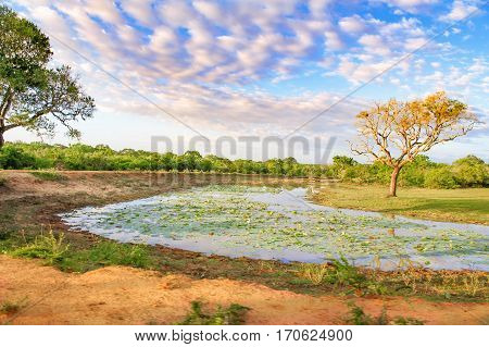 Small lake full of water lillies in sri lanka on a sunny day