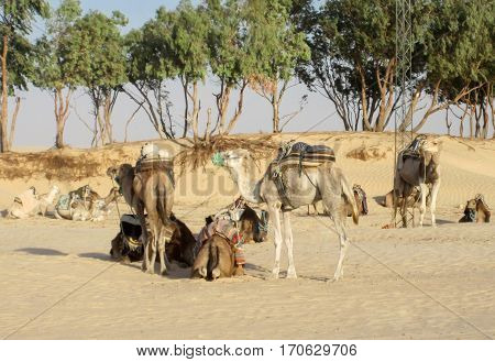 Parking camels in the desert. Camels have a rest before the journey. Tourism and travel.