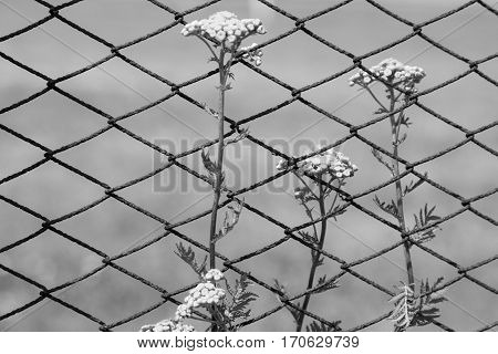 Tansy flowers on the field. Tansy flowers on the background of the fence from the grid. Close-up. Black and white.