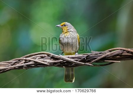 Stripe throated, Streak throated bulbul songbird bird with yellow streaks on forehead, throat perching on dried vine with blurred forest background, Thailand (Pycnonotus finlaysoni)