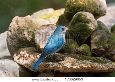 Side profile of female Verditer Flycatcher bird in blue standing on stone with moss in Thailand, Asia (Eumyias thalassinus)
