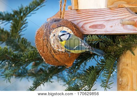Eurasian blue tit bird in yellow blue white perching on filled Coconut Shell suet treats made of fat, sunflower seeds hanging at bird feeder decorated with pine tree branches during winter in Europe