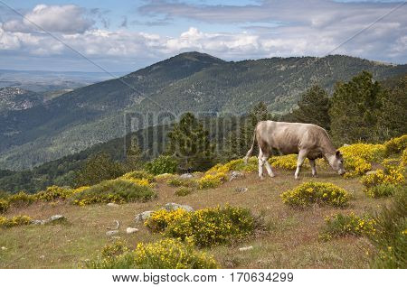 Cow grazing in Casillas Mountain Pass, Iruelas Valley Natural Park, Avila, Spain