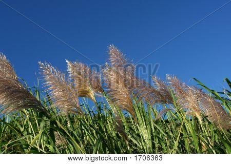 Wind In Sugar Cane Fields