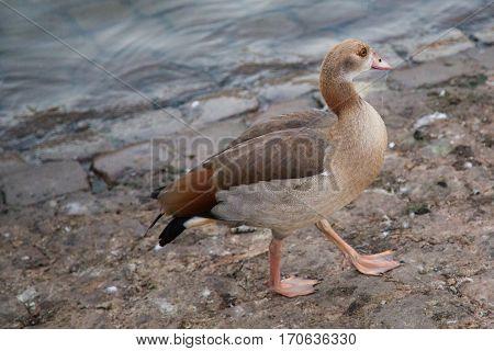 Goose Walking On A Street In Luxemburg