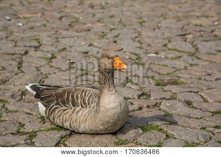 Goose Sitting On A Street In Luxemburg