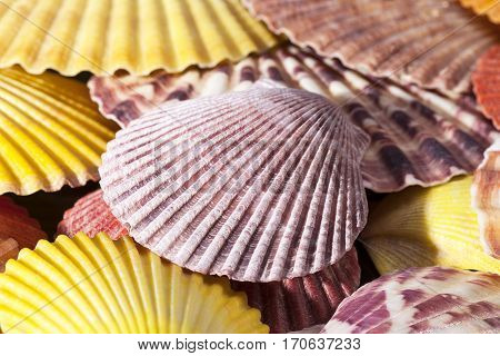 Background of colorful sea shells of mollusks close up.