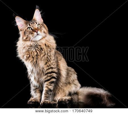 Portrait of domestic black tabby Maine Coon kitten. Fluffy kitty on black background. Extreme close-up studio shot beautiful curious young cat looking away.