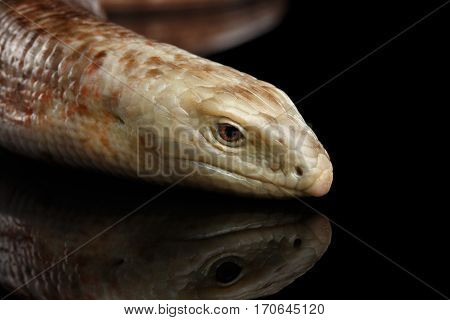 Sheltopusik or European Legless Lizard, Pseudopus apodusapodus isolated on Black background with reflectoin