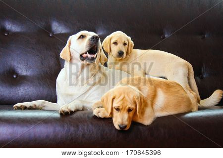 Three labrador puppies sit on black leather sofa and looking at camera