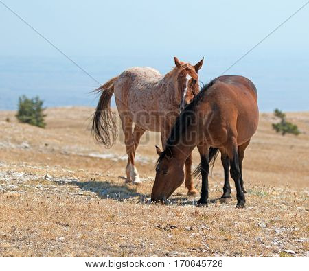 Red Roan Band Stallion with his Bay Mare on Sykes Ridge in the Pryor Mountain Wild Horse Range in Montana - Wyoming USA
