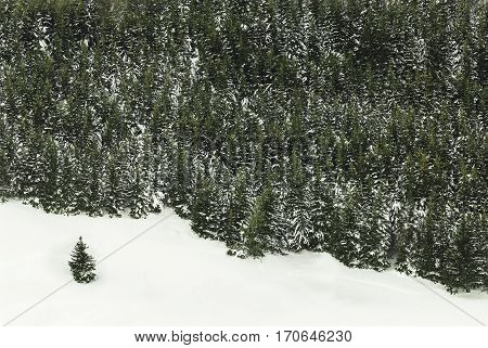 Edge of norway spruce tree wood with snow and isolated tree.