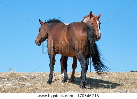 Windblown Red Roan Band Stallion with his Bay Mare on Sykes Ridge in the Pryor Mountain Wild Horse Range in Montana - Wyoming U S A